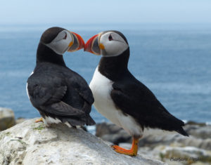Puffin Beaks 3 • Machias Seal Island, ME • A puffin pair touch beaks.