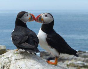 Puffin Beaks 3 •Machias Seal Island, ME • A puffin pair touch beaks.