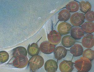 Shennan's horseshoe crabs